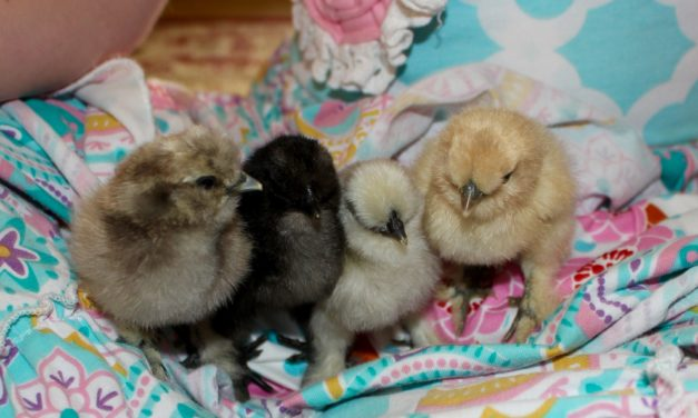The Joy of Silkie Chicks
