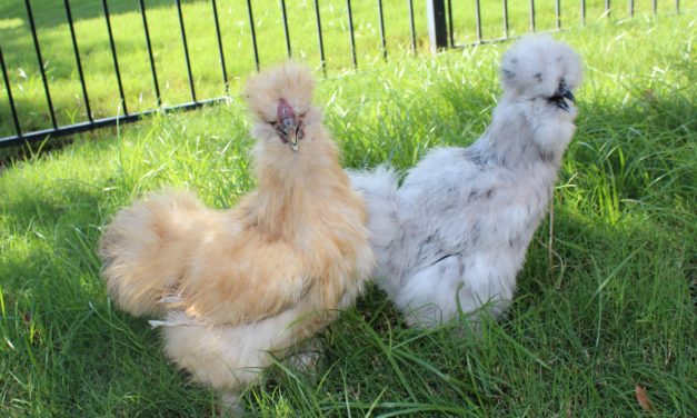 8 Tips to Have Joy With Backyard Chickens