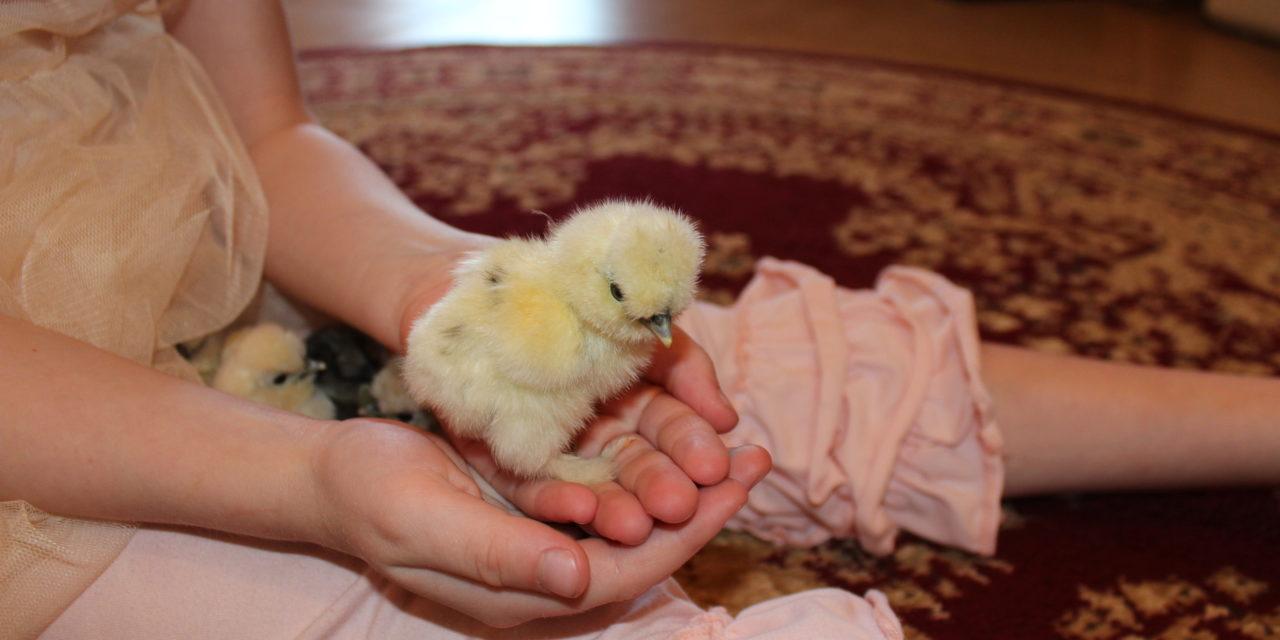 The Joy of Hatching Chicks