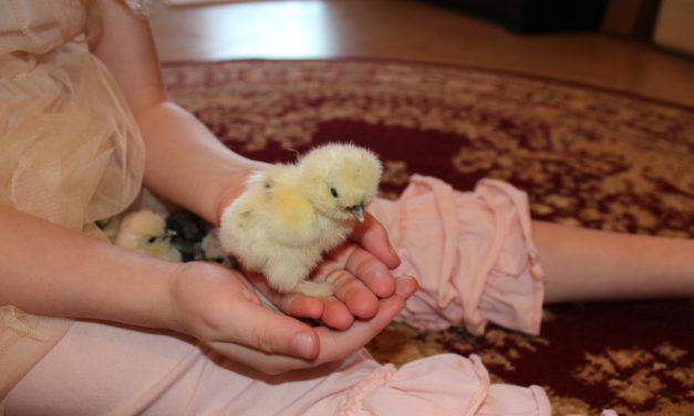 The Joy of Hatching Chicks